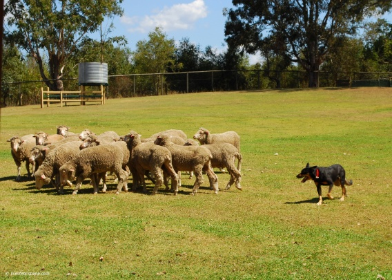 Rusty rounding up the sheep